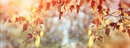 秋叶的金黄颜色在树分支的在森林里 库存图片