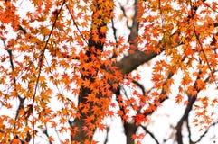 秋叶红色结构树 免版税库存照片
