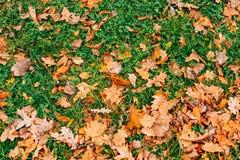 秋叶纹理 黄色橡木在地板上的叶子废弃物 免版税库存照片