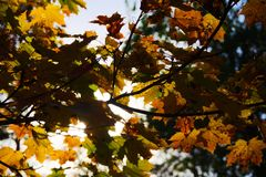 秋叶结构树 秋天背景特写镜头上色常春藤叶子橙红 库存图片