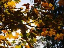 秋叶结构树 秋天背景特写镜头上色常春藤叶子橙红 免版税库存照片