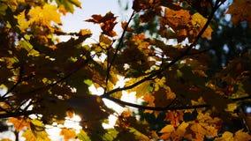 秋叶结构树 秋天背景特写镜头上色常春藤叶子橙红 免版税库存图片