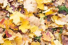 秋叶背景 绿色的槭树橙色,黄色和 免版税库存照片
