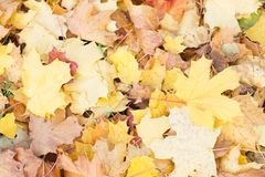 秋叶背景 绿色的槭树橙色,黄色和 库存照片