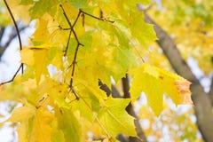 秋叶背景 绿色的槭树橙色,黄色和 免版税图库摄影
