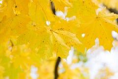 秋叶背景 绿色的槭树橙色,黄色和 库存图片
