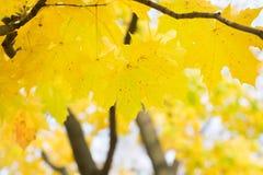 秋叶背景 绿色的槭树橙色,黄色和 免版税库存图片