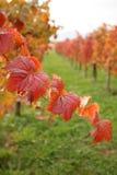 秋叶葡萄园 库存照片