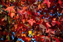秋叶颜色火焰 库存图片