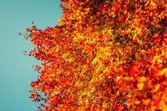 秋叶,在发光反对与丰足拷贝空间的晴朗的蓝天的分支的有启发性叶子,有用为秋天背景 免版税图库摄影