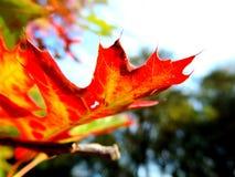 秋叶,转动红色的叶子 免版税库存照片