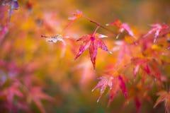 秋叶,非常浅重点 库存图片