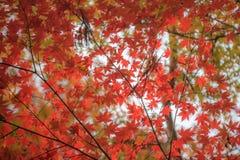 秋叶,非常浅重点 免版税图库摄影