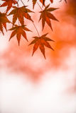秋叶,非常浅重点 库存照片
