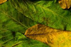秋叶 在老木桌上的五颜六色的叶子坚果 叶子背景 免版税图库摄影