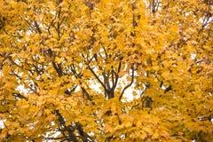 秋叶结构树黄色 库存图片