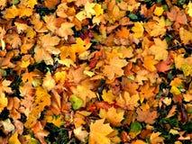 秋叶 秋天背景特写镜头上色常春藤叶子橙红 常春藤橙色叶子 下落的黄色槭树叶子 库存照片