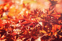 秋叶 背景黑色棕色颜色概念少量绿色留下槭树季节给 免版税库存图片