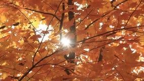 秋叶5阳光 影视素材