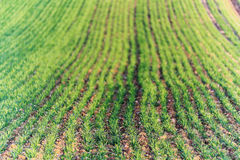 秋大麦领域 免版税库存图片