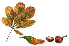 秋天七叶树果实收获 库存照片