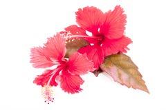 秋天上色了有两朵红色木槿花的叶子 免版税库存照片