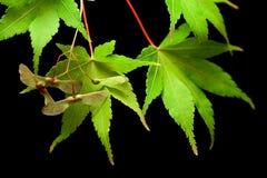秋天上色叶子槭树 免版税库存照片