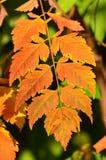 秋天上色叶子生锈 免版税库存图片