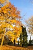 秋天上色槭树 免版税库存照片
