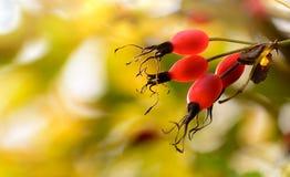秋天上色背景 在狗的野玫瑰果上升了 库存图片