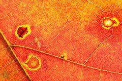秋天上色详细资料叶子 免版税库存照片
