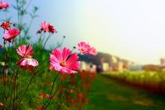 秋天下午,红色花陪同的日落在生活中开花 免版税图库摄影