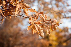 秋天下来落的叶子 与焦点的特写镜头照片在叶子 库存照片
