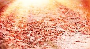 秋天下落的叶子由黄昏太阳点燃了 免版税图库摄影