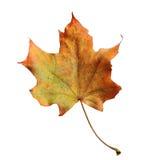 秋天与在背景隔绝的叶子的槭树分支 库存照片