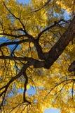 秋天与树干的榆树在右上方 库存图片