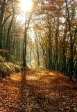 秋天与照亮gol的温暖的光光芒的森林风景 免版税库存图片