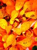 秋天与色的叶子的灌木细节 免版税库存图片