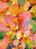 秋天与色的叶子的灌木细节 库存照片