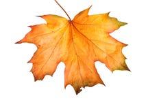 秋天与被隔绝的叶子的槭树分支 免版税库存照片