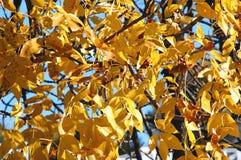 秋天与豪华的黄色叶子特写镜头的灰树分支 秋天背景特写镜头上色常春藤叶子橙红 图库摄影
