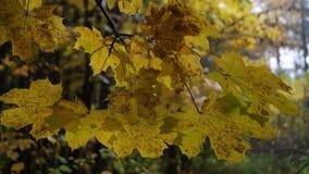 秋天与金黄叶子的槭树分支由雨珠和微弱的风震动 股票录像
