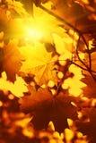 秋天与阳光的槭树叶子分行  库存图片