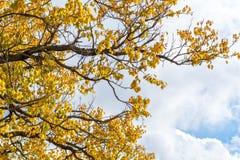 秋天与黄色叶子的树枝 库存照片