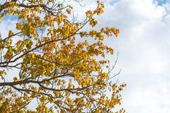 秋天与黄色叶子的树枝 免版税库存图片