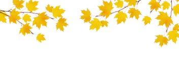 秋天与黄色叶子的槭树分支 库存照片