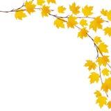 秋天与黄色叶子的槭树分支 免版税库存图片