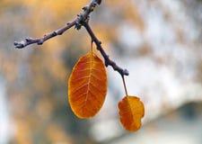 秋天两片金黄橙色叶子  图库摄影
