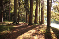 秋天云杉的森林 库存图片