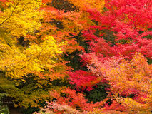 秋天五颜六色的叶子槭树 免版税库存图片